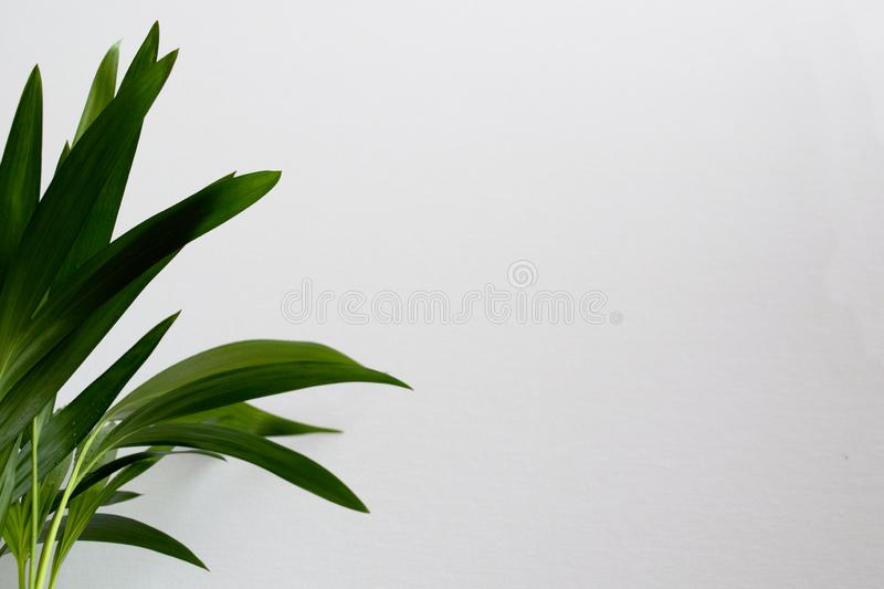 Close-up of golden cane palm. Dypsis lutescens leaves with water drops on white background. Exotic plant green leaves royalty free stock photography
