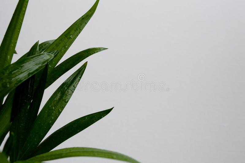 Close-up of golden cane palm. Dypsis lutescens leaves with water drops on white background. Exotic plant green leaves stock photography