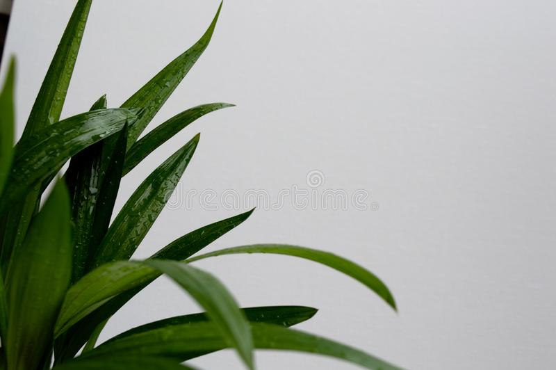 Close-up of golden cane palm. Dypsis lutescens leaves with water drops on white background. Exotic plant green leaves royalty free stock photo