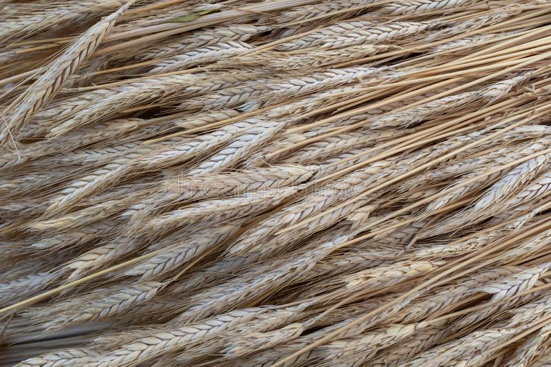 Close up of straw used to thatch a roof. Close up of golden coloured straw used to thatch a roof stock photos