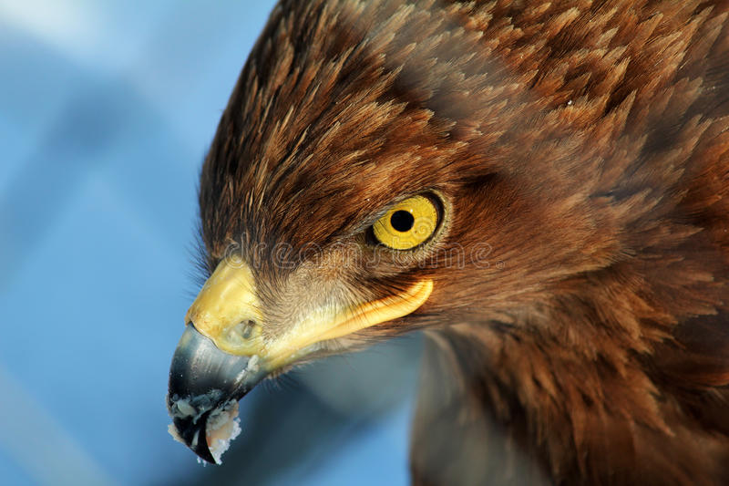 Close up of golden eagle. Eagle with food and snow on beak. Photo was taken in Brasov, Romania at the newly opened Zoo. The eagle was just being fed fresh meat stock image