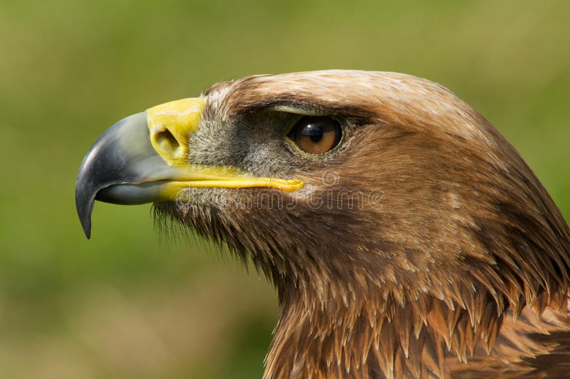 Close-up of golden eagle head with catchlight royalty free stock image