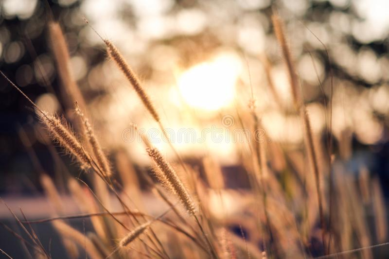 Close-up golden grass meadow at sunset royalty free stock images