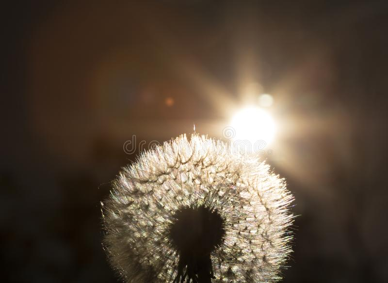 Close up golden looking photo on a dandelion plant with sun shining from behind it creating a colorful decorative lens flare stock photo