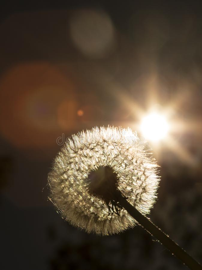 Close up golden looking photo on a dandelion plant with sun shining from behind it creating a colorful decorative lens flare royalty free stock photography