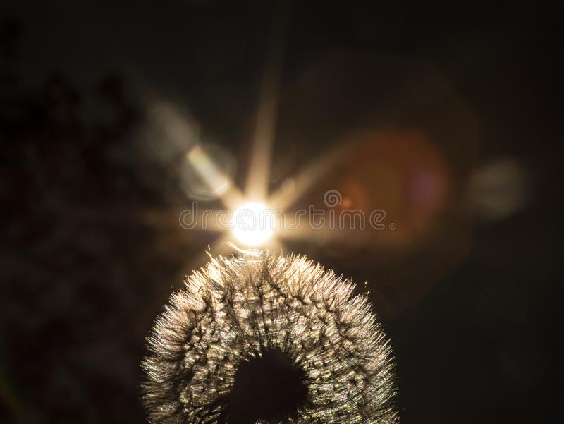Close up golden looking photo on a dandelion plant with sun shining from behind it creating a colorful decorative lens flare stock image