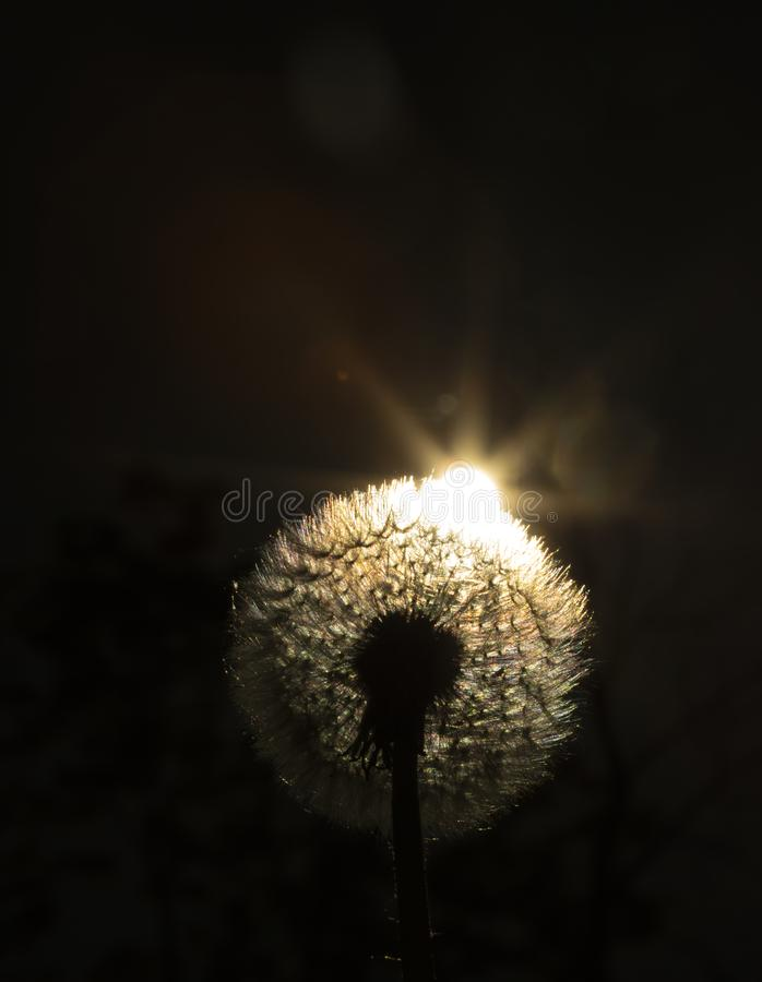 Close up golden looking photo on a dandelion plant with sun shining from behind it creating a colorful decorative lens flare royalty free stock images