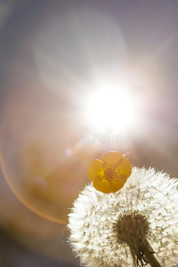 Close up golden photo of a dandelion plant with a small flower and the sun shining from behind it creating a decorative lens flare royalty free stock image