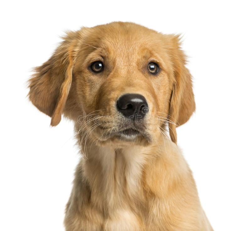 Close-up of a Golden Retreiver puppy. In front of a white background stock photography