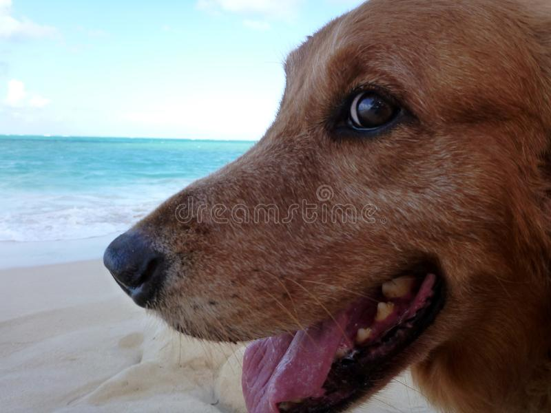 Close-up of Golden Retriever Dog Head with mouth open. At the Beach, animal, bark, bay, bitch, breed, brown, calm, canine, clever, coast, collar, companion royalty free stock image