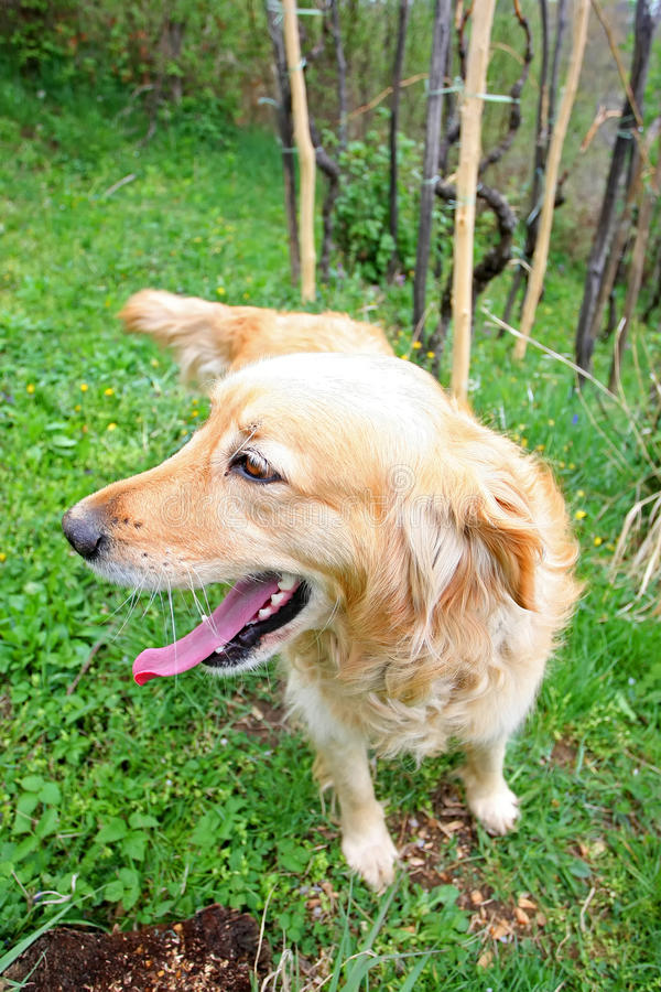 Close up of golden retriever in nature royalty free stock photo