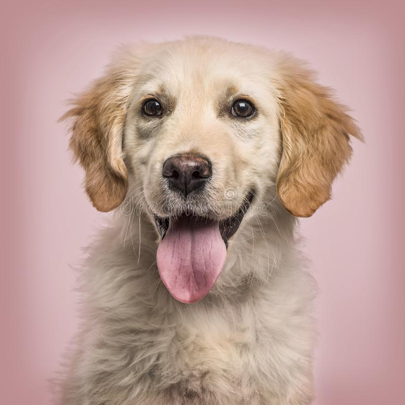 Close-up of Golden Retriever panting to camera against pink back royalty free stock photos