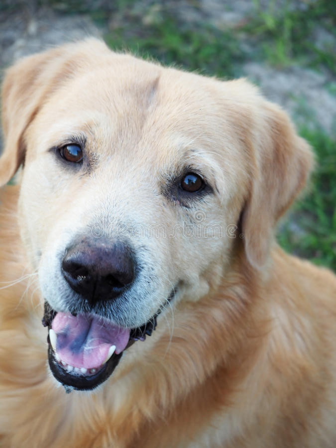 Close up golden retriever. royalty free stock photography