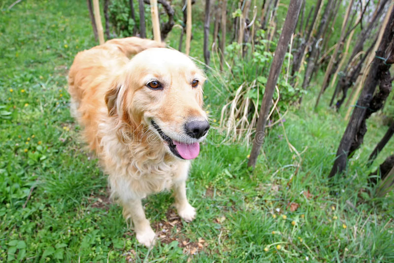 Close up of golden retriever in woods royalty free stock photography