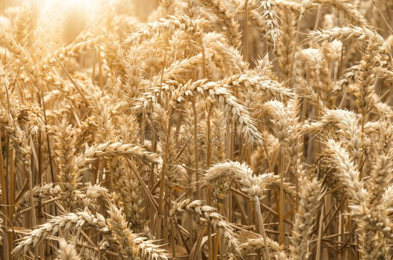 Close up of golden summer sunny wheat field royalty free stock image