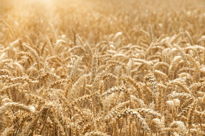 Close up of golden summer sunny wheat field with selective focus royalty free stock photography