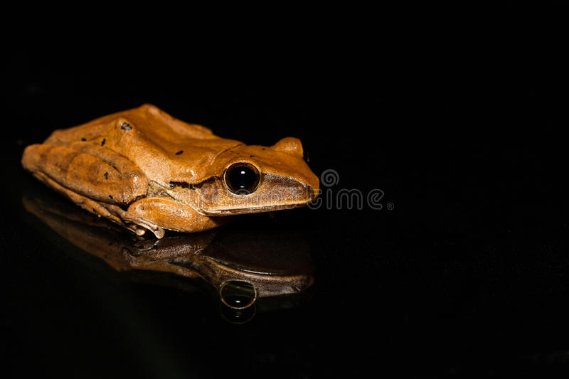 Close up golden tree frog on glass royalty free stock photography
