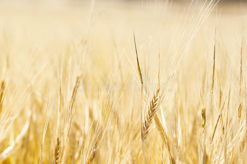 Close-Up of a Golden Wheat Field and Sunny Day stock image