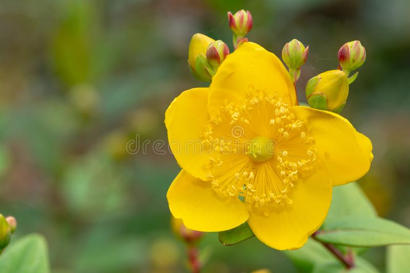 Goldencup St Johns wort hypericum patulum stock images