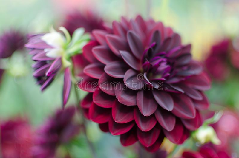 A close up gorgeous velvet flower named dahlia with perfect shaped petals of all possible wine-colors undertones. Against the blurred background of green royalty free stock photos