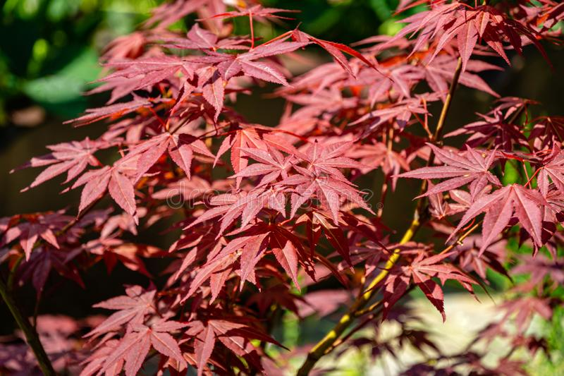 Close-up of graceful red leaves of Japanese Maple, Acer palmatum Atropurpureum tree in beautiful spring garden. Close-up of graceful red leaves of Japanese Maple royalty free stock images
