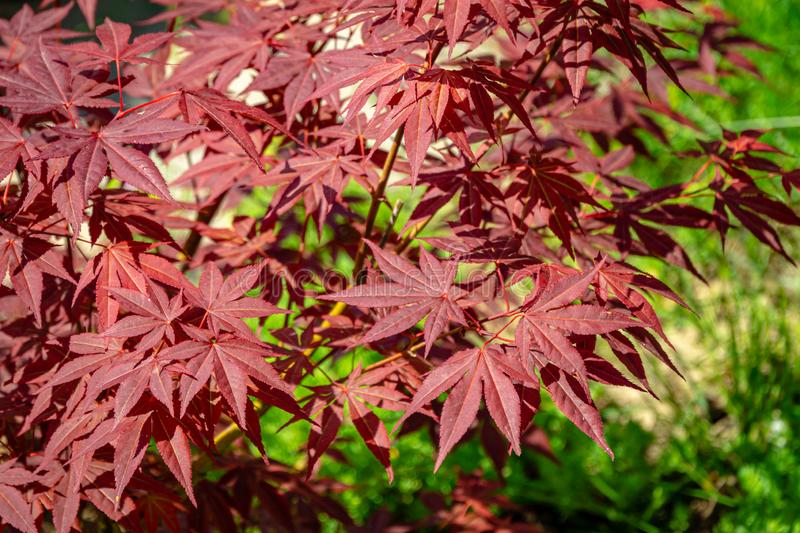 Close-up of graceful red leaves of Japanese Maple, Acer palmatum Atropurpureum tree with purple leaves. In beautiful spring garden royalty free stock photos