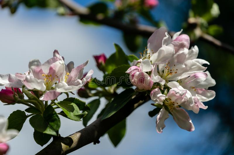 Close-up graceful twig of apple tree with delicate pink blossoms against blue sky in spring garden. Selective focus. Bright sunny theme for any design stock images