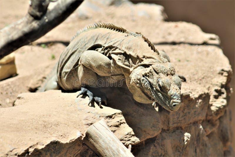 Grand Cayman Blue Iguana, Phoenix Zoo, Arizona Center for Nature Conservation, Phoenix, Arizona, United States. Close up of a Grand Cayman Blue Iguana, located royalty free stock image