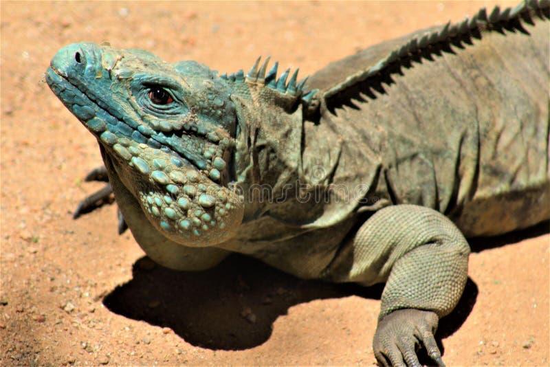 Grand Cayman Blue Iguana, Phoenix Zoo, Arizona Center for Nature Conservation, Phoenix, Arizona, United States. Close up of a Grand Cayman Blue Iguana, located royalty free stock photography