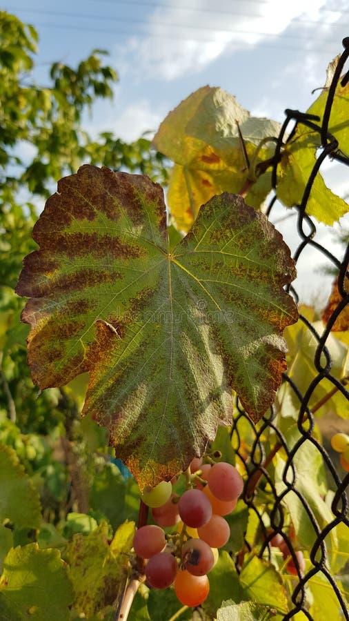 Close up grande da folha da vinha com bordas marrons e meio verde Folha da vinha com fundo borrado da cerca oxidada da rede de ar fotografia de stock