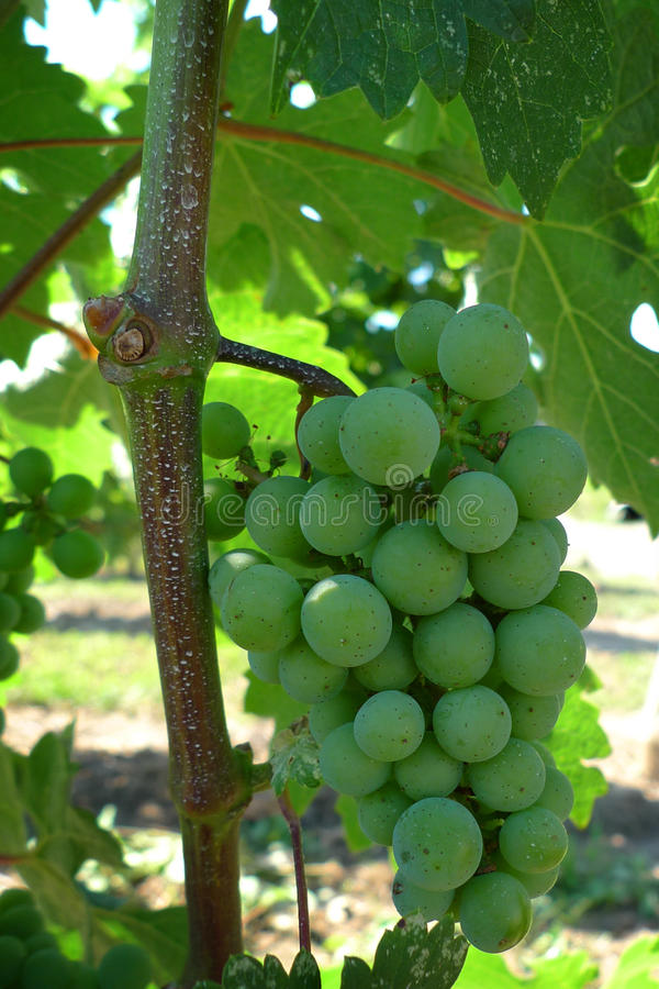 Download Close Up Of Grapes In Vineyard Stock Image - Image: 15812697