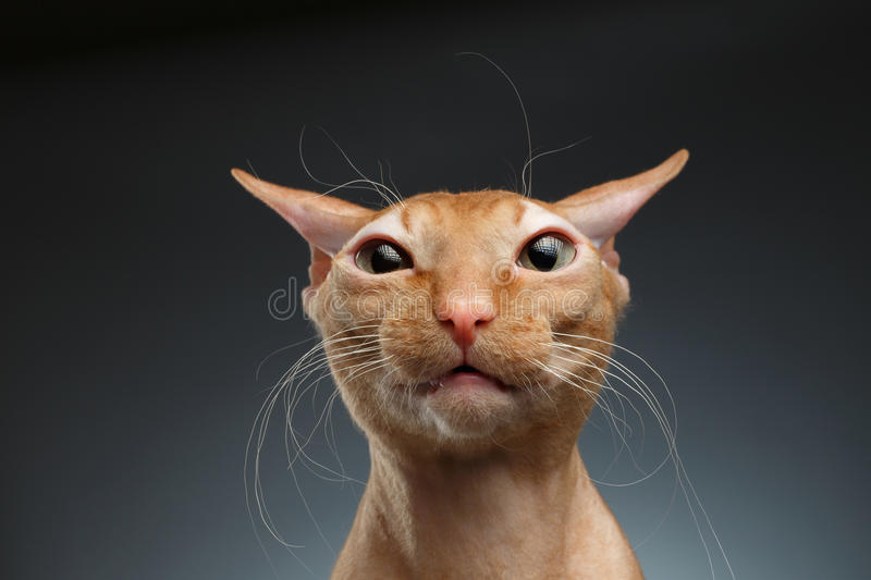 Close-up Grappig Ginger Sphynx Cat Surprised Looking in camera op achtergrond stock foto's