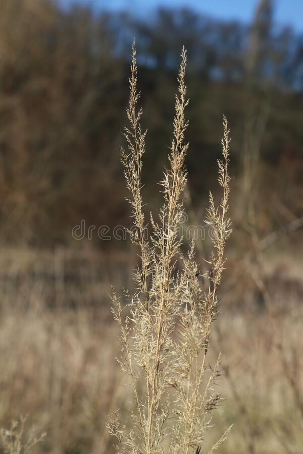 Close up of grass. Field, wheat, agriculture, nature, plant, crop, grain, grass, cereal, yellow, summer, farm, harvest, dry, food, golden, rural, corn, autumn stock photos