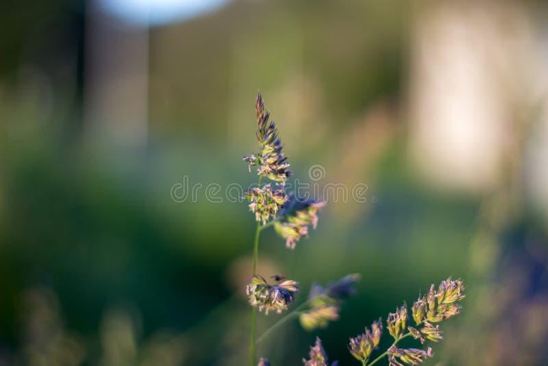 Close up of grass in the evening light. Aberdeen, Scotland royalty free stock photos