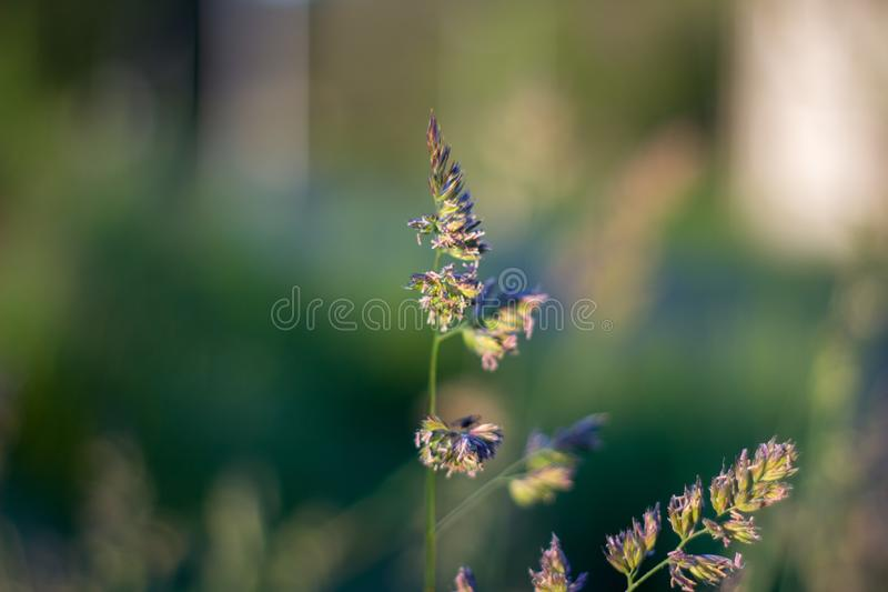 Close up of grass in the evening light. Aberdeen, Scotland stock photo
