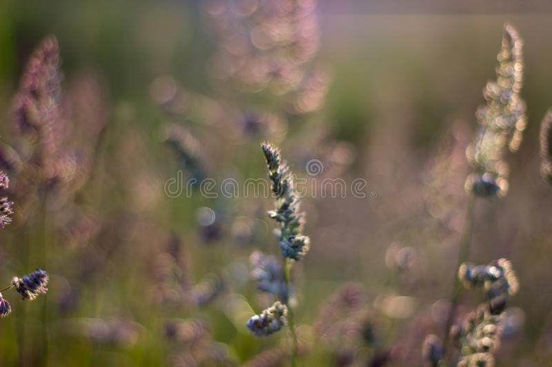 Close up of grass in the evening light. Aberdeen, Scotland royalty free stock image