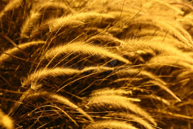 Close Up, Grass Family, Grain, Grass royalty free stock images