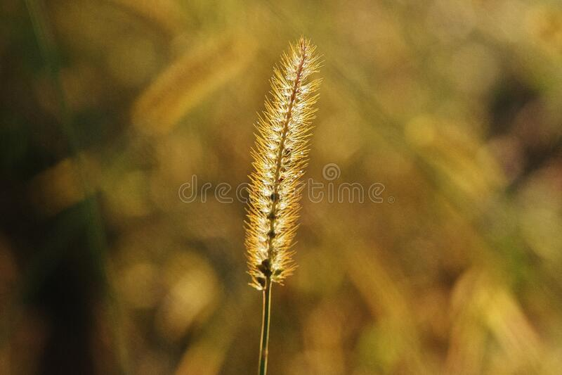 Close up of grass flower royalty free stock image