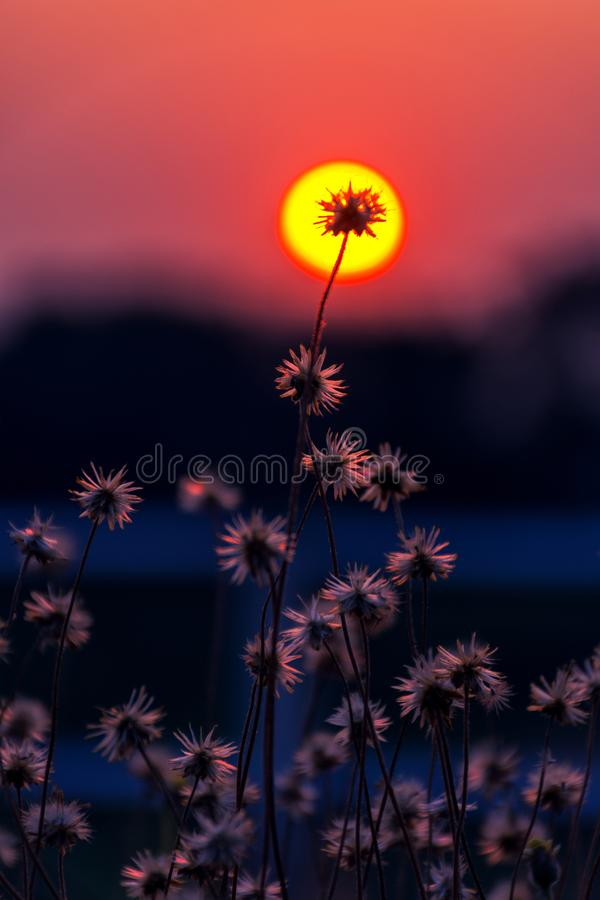 Close-up of grass flower with a background. In the center of the sun, at sunset stock images