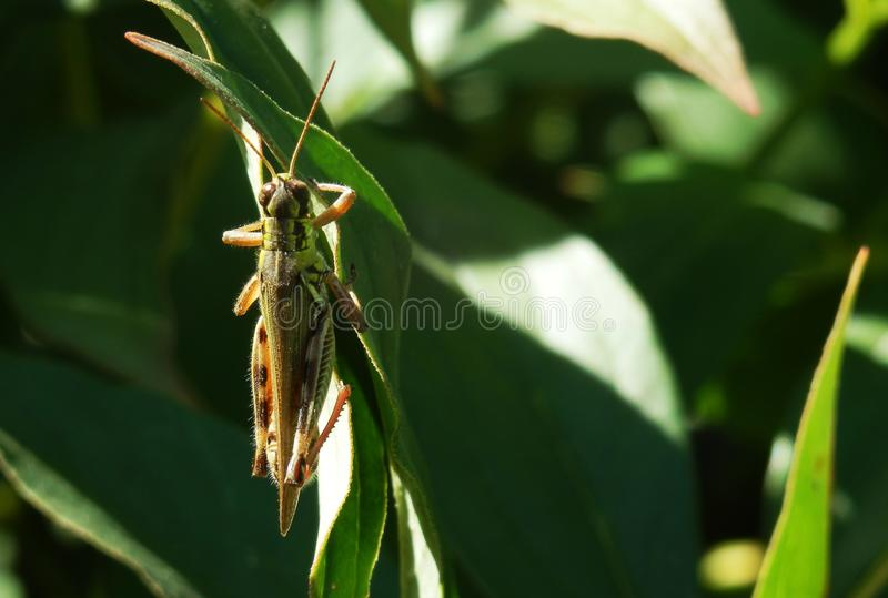 Close up of grasshopper on branch stock photography