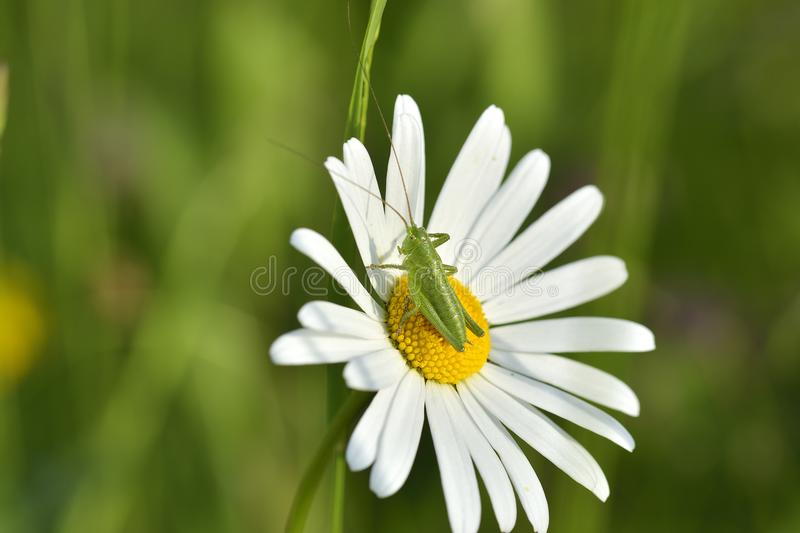 The close up grasshopper with daisy flower. Close up grasshopper with daisy flower royalty free stock image
