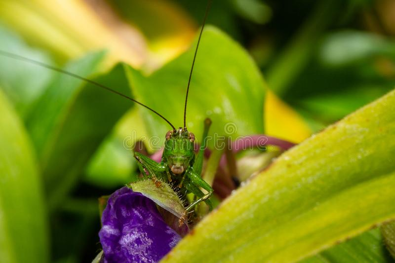 Close Up Of A Grasshopper On An Ephemere Flower, Macro Photography. Close Up Of A Grasshopper On An Ephemere Flower, shot in Tracy-le-Mont, France, in Macro stock images