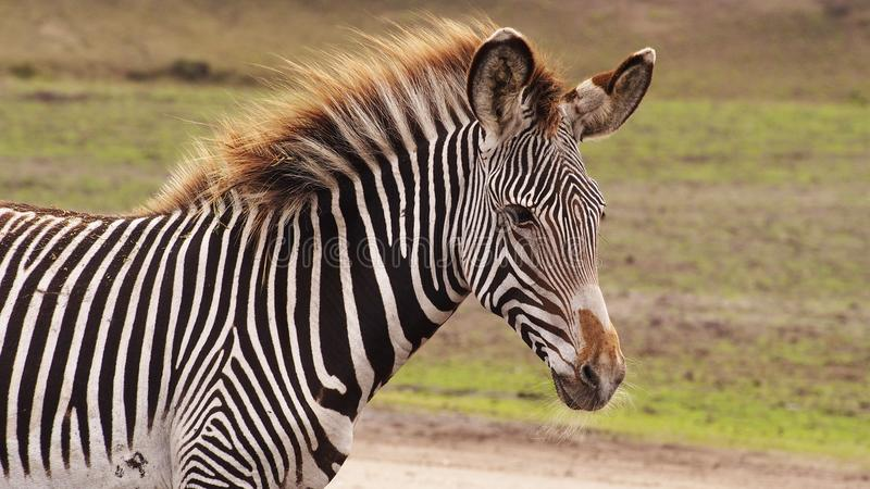 Gravyi zebra foal. Close up of a Gravyi zebra foal stock image