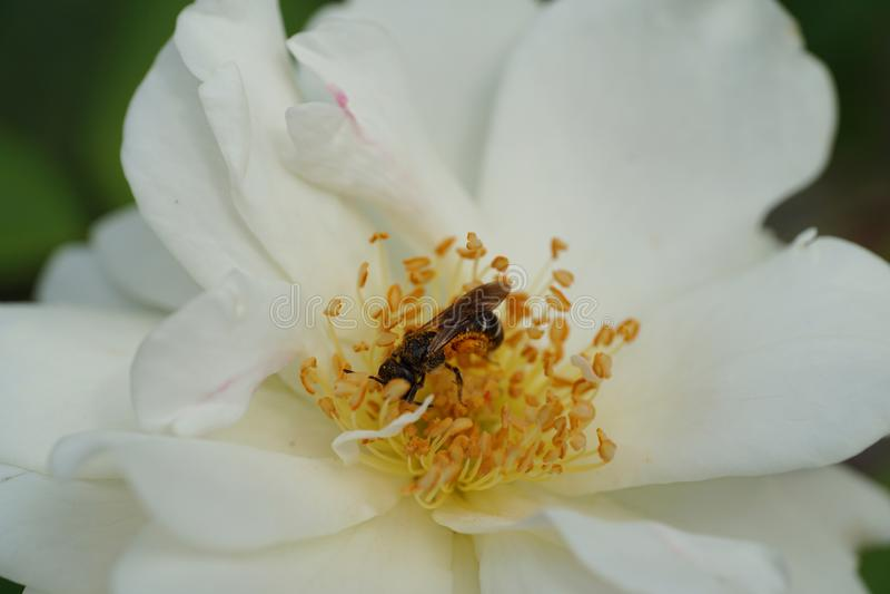 Close-up of a gray Caucasian bee Andrena nitidiuscula on a white stock photos