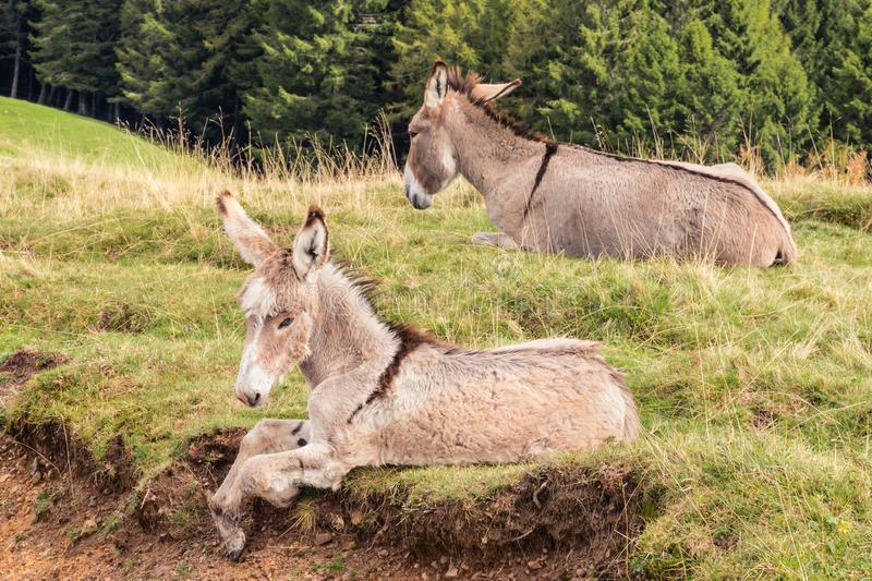 Gray jenny donkey with foal resting on meadow royalty free stock photos