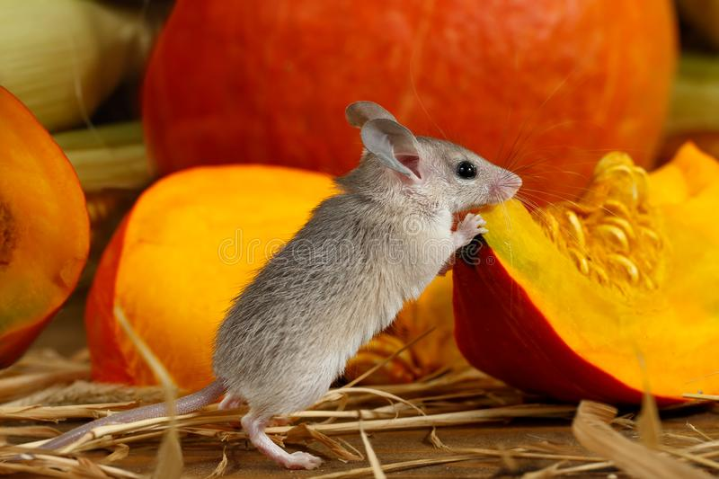 Close-up gray mouse stands near piece of red pumpkin in storehouse. stock photo