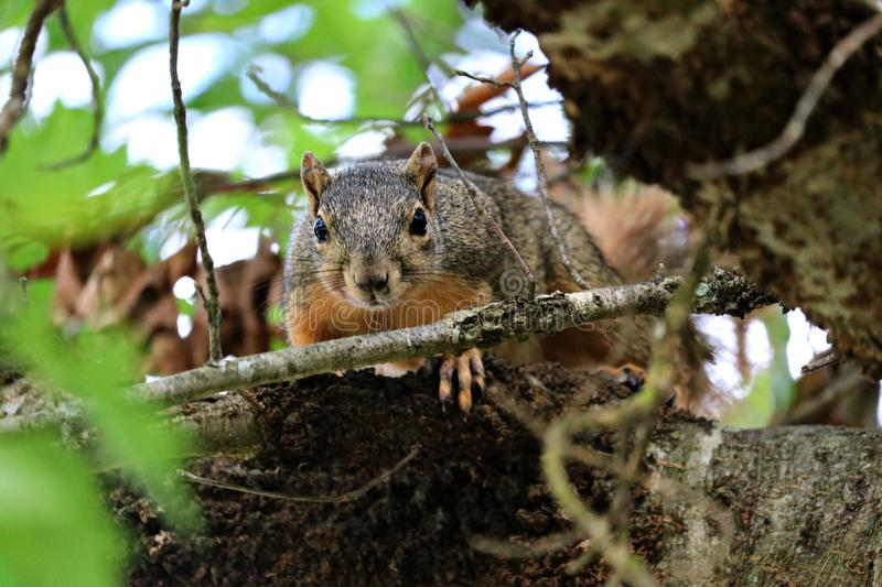 A close up of a gray squirrel in a tree in near the river. royalty free stock image