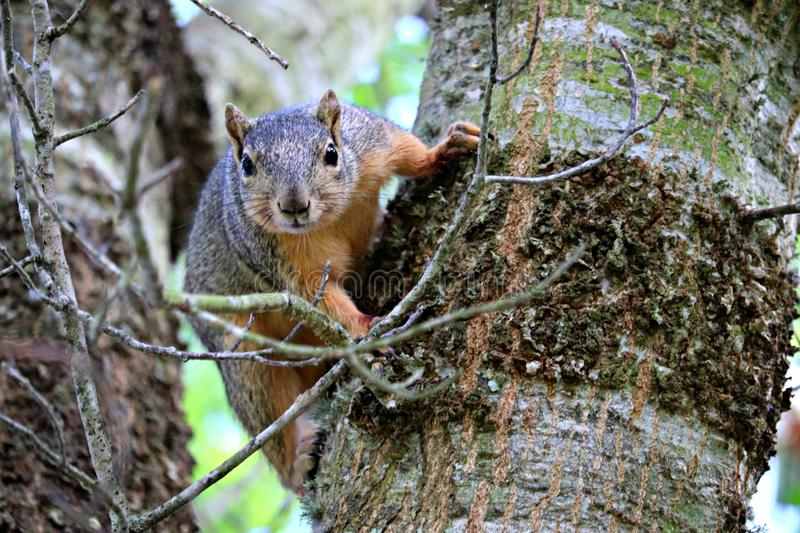 A close up of a fox squirrel in a tree in a park. stock photography