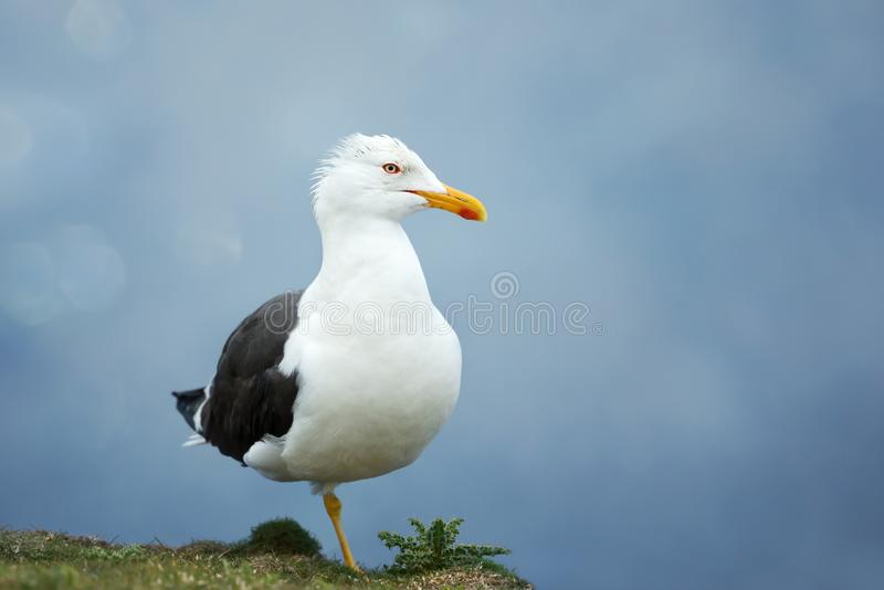 Close up of a great black backed gull against blue background stock photos
