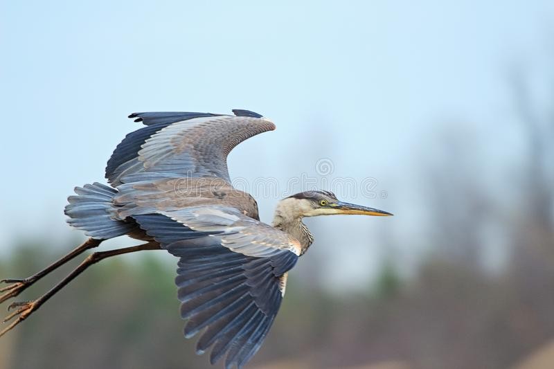A Close-Up Of A Great Blue Heron royalty free stock images